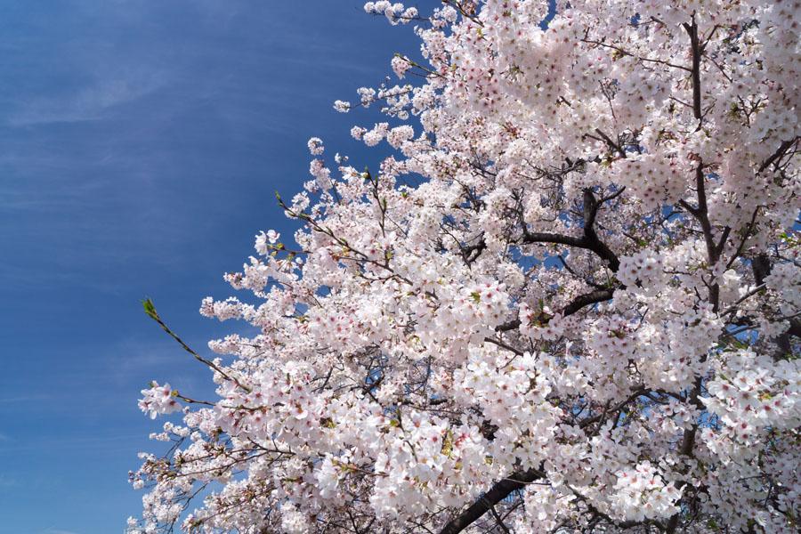 20150405-3_よしお桜_2