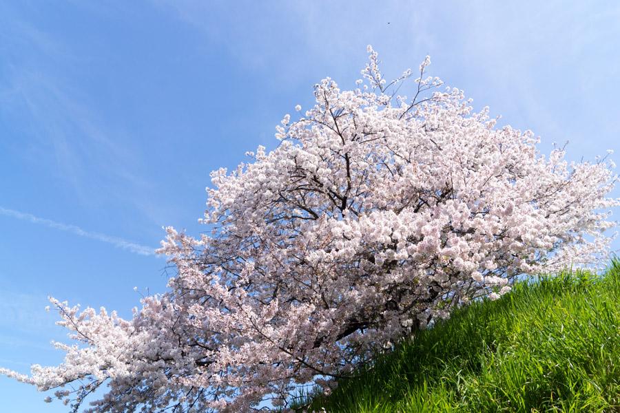 20150405-3_よしお桜_1