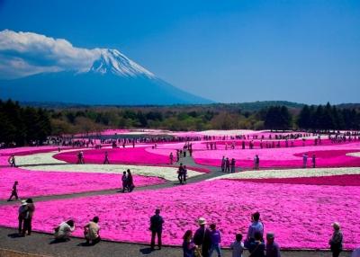 富士芝桜まつり開催時
