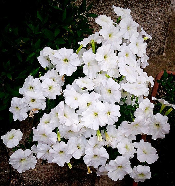 白い花_20150528