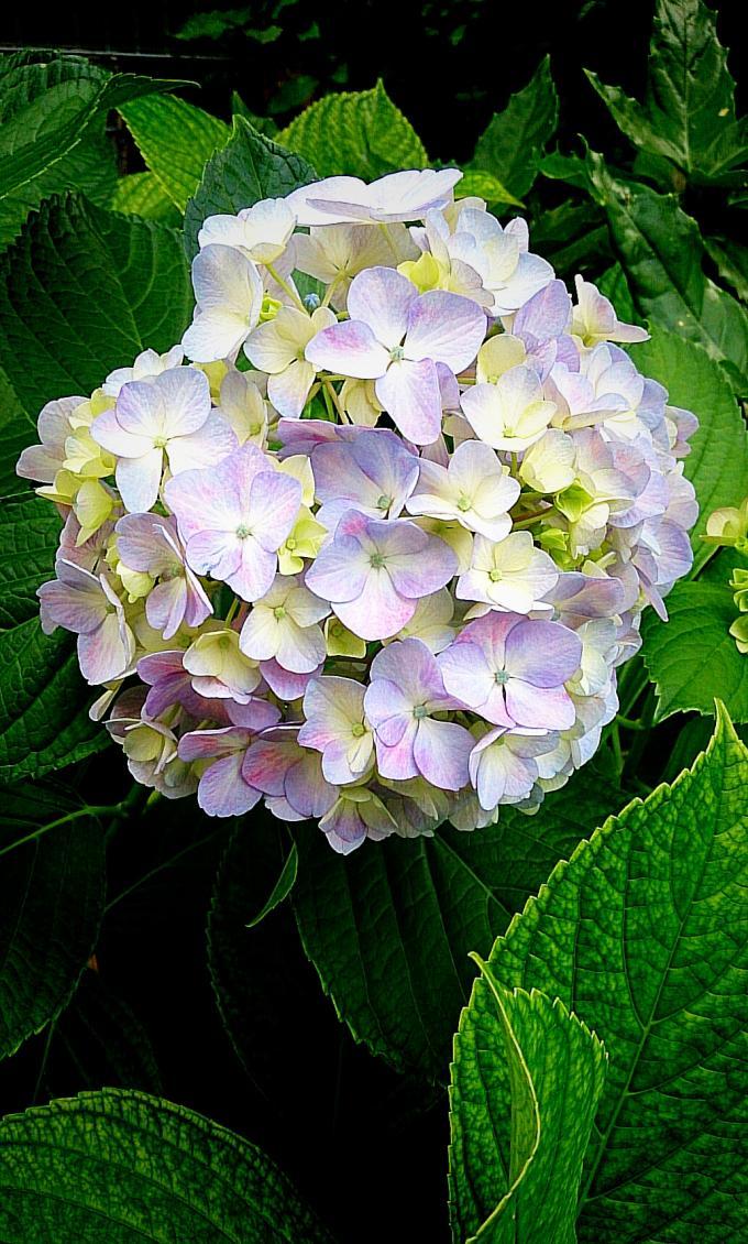 紫陽花_20150530