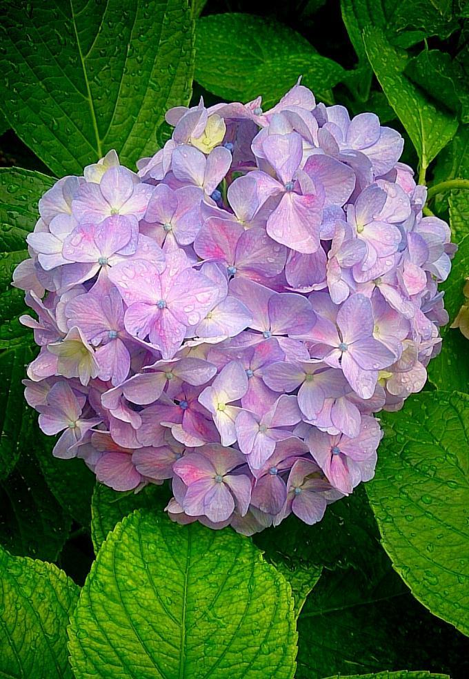 紫陽花_20150603