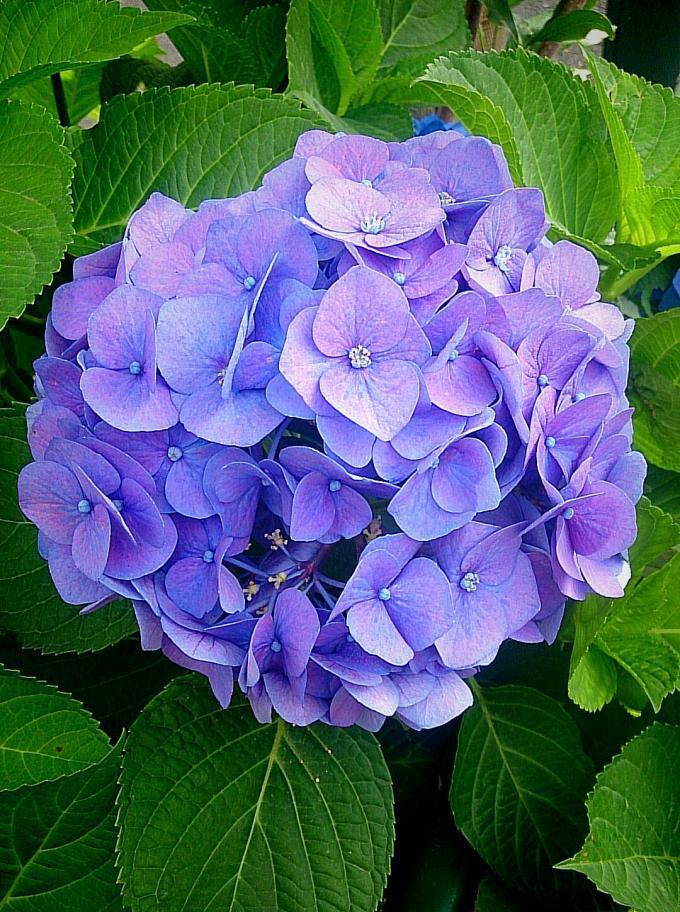 紫陽花_20150615
