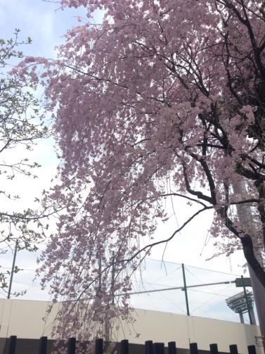大宮 枝垂桜