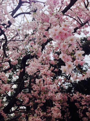 大宮の桜2