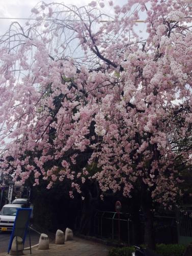 大宮 枝垂桜2