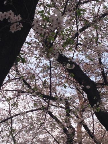 大宮 桜3