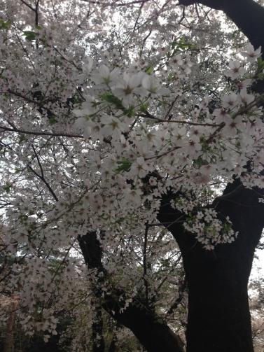 大宮 桜4