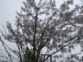 東京都府中市村上様2015年開花その2