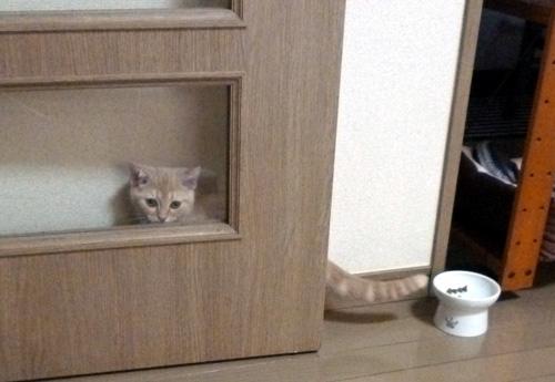 ドアの影に居るきなこ