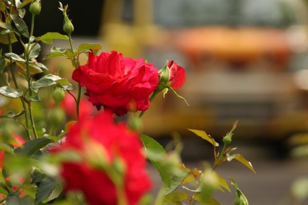 150523-rose-101.jpg