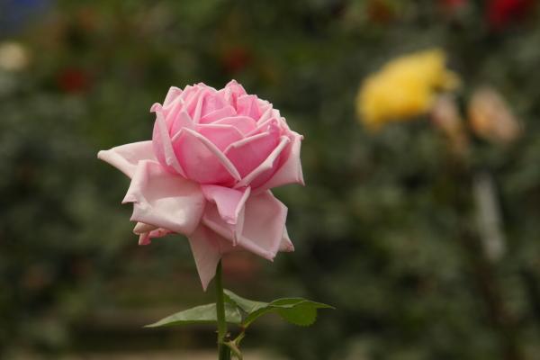 150523-rose-102.jpg