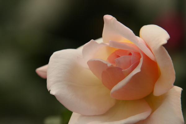 150523-rose-103.jpg