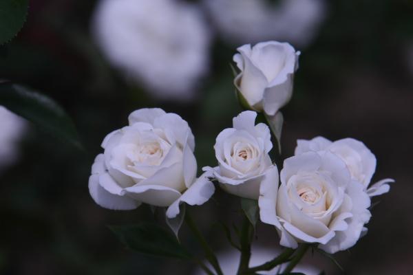 150523-rose-104.jpg