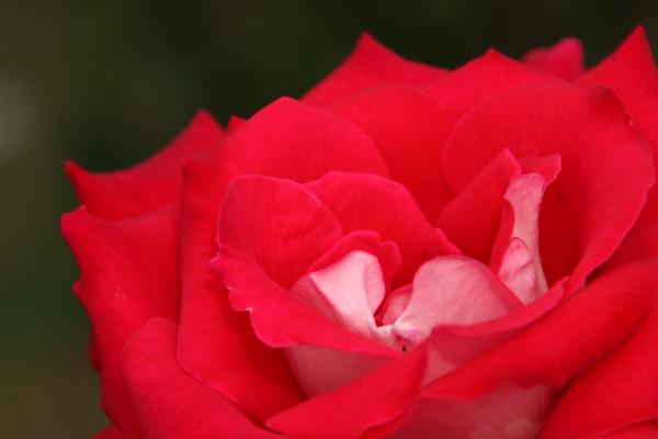 150523-rose-106.jpg