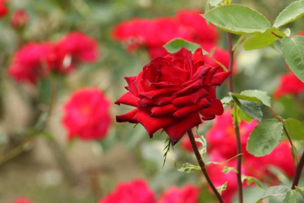 150523-rose-109.jpg