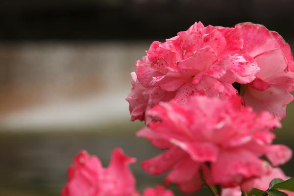 150523-rose-110.jpg