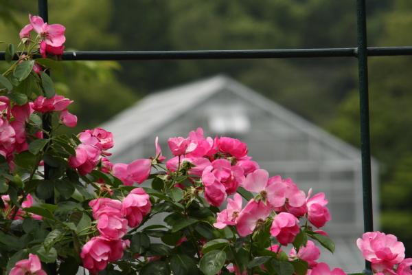 150523-rose-111.jpg