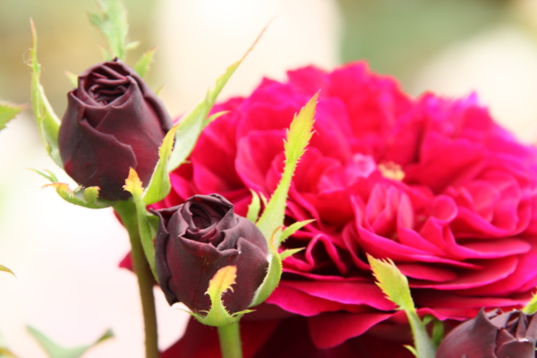 150523-rose-112.jpg