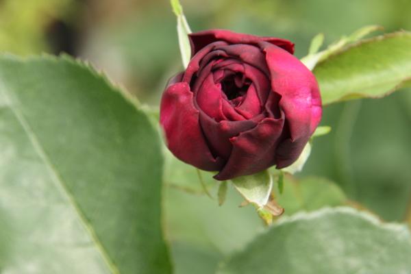 150523-rose-113.jpg