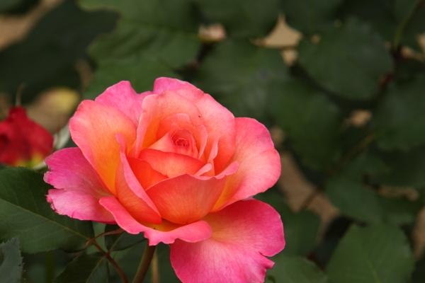 150523-rose-115.jpg