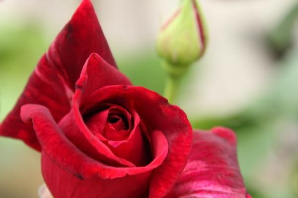 150523-rose-116.jpg