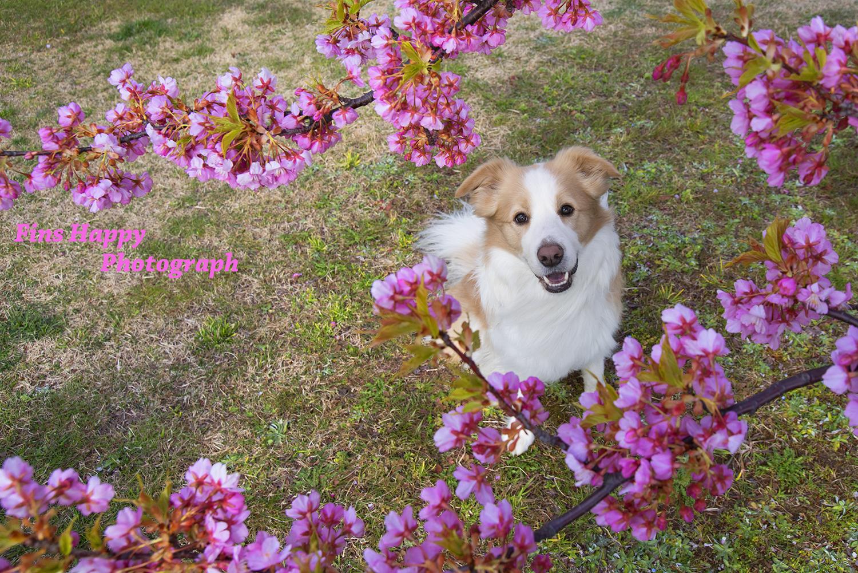 急募!桜をバックに家族写真撮りませんか?無料でーす!