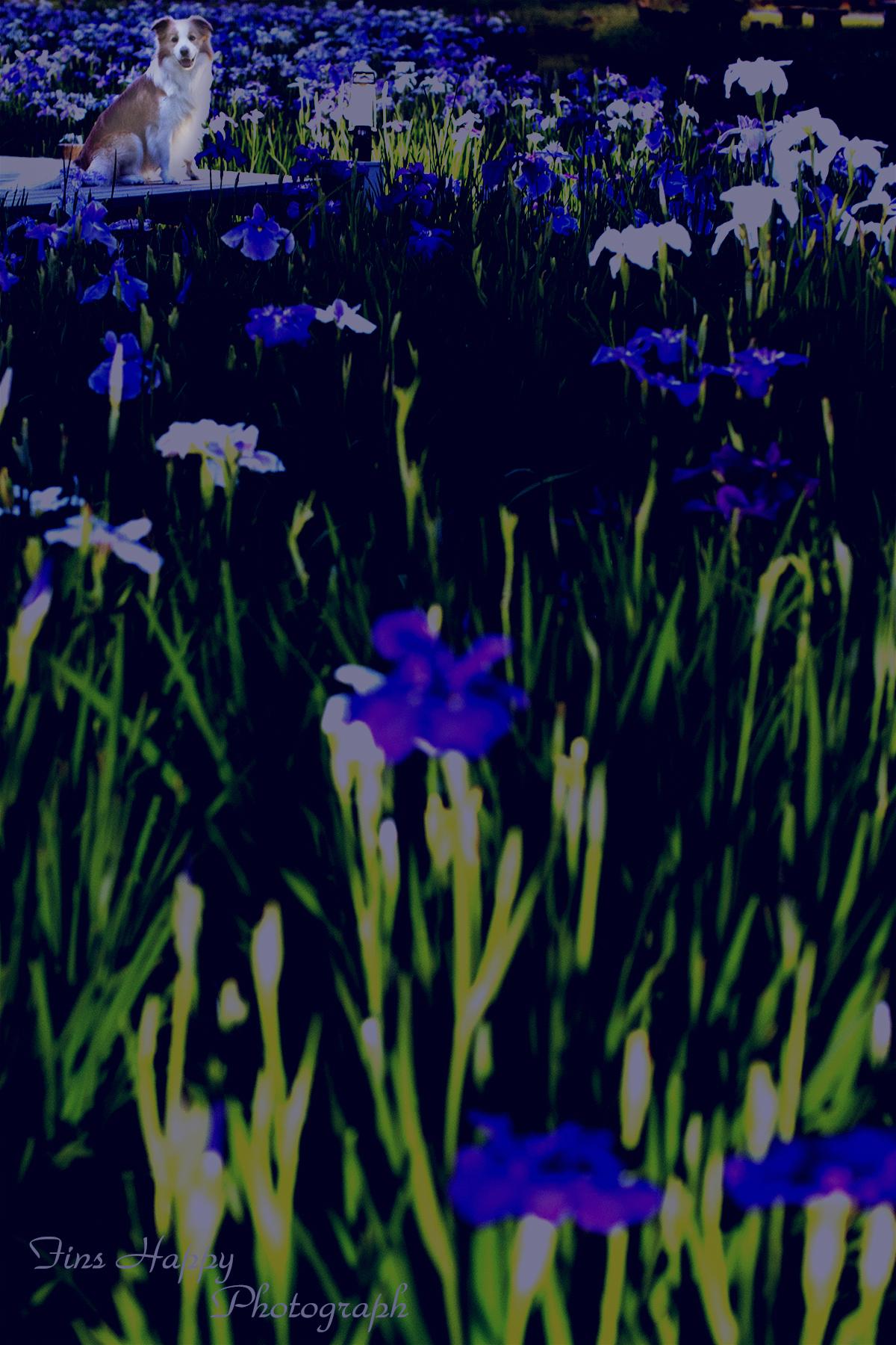 水元公園の夜光菖蒲