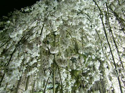 しだれ桜2015