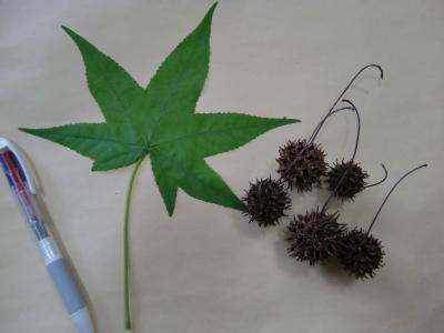 モミジバフウの葉と実