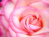 ばら-ピンク