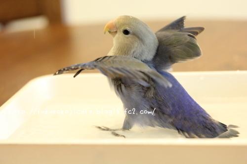 ユキ水浴び2