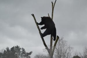木登りグマ