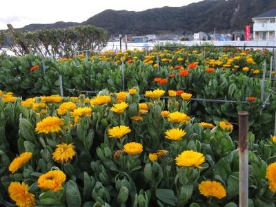 南房総の花畑