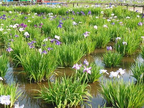 北山公園菖蒲1