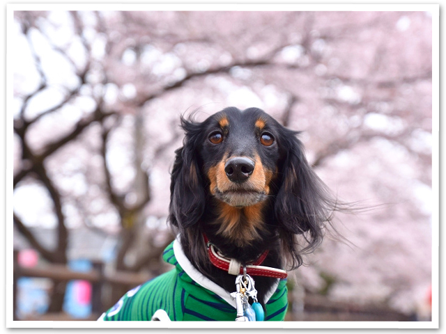 ふっさ桜まつり