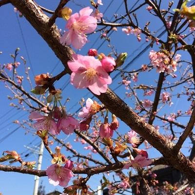 桜は未だかいな 1
