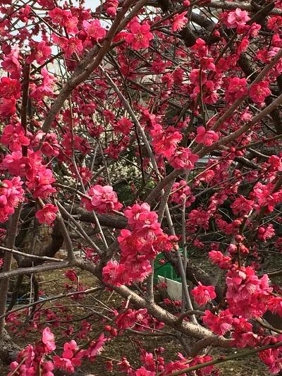 桜は未だかいな 0