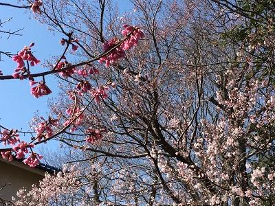 早咲き桜0