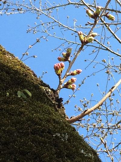 早咲き桜1