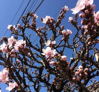 早咲き桜2
