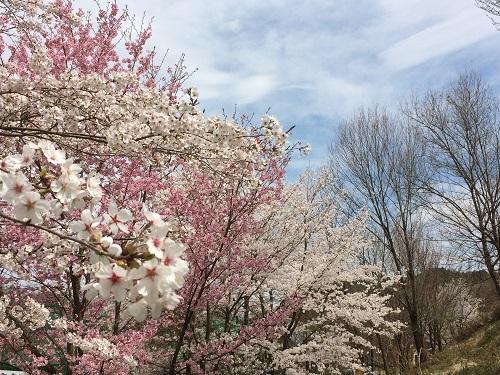 五日市の桜0