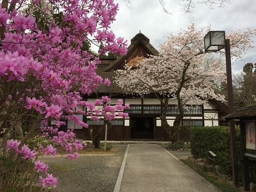 五日市の桜2
