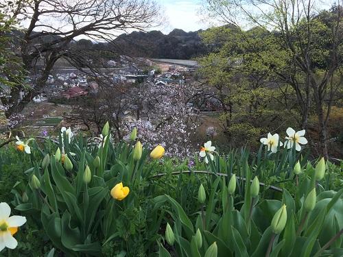 五日市の桜3