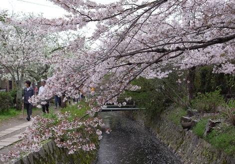 京都の桜01