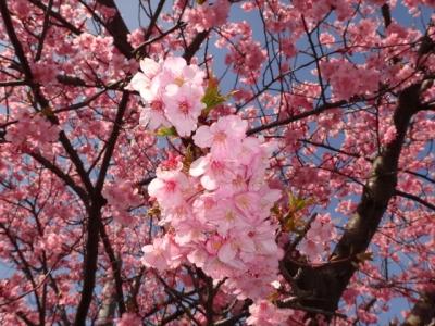 イオンの桜