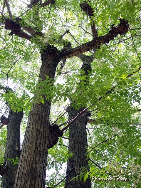 栴檀(センダン)の木の花