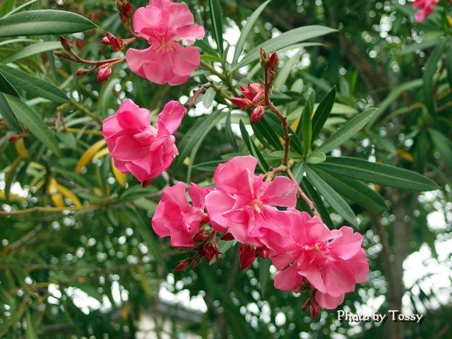 キョウチクトウ 八重咲き