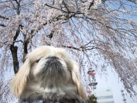 枝垂桜と杏