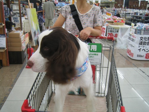 014 2013.9.11 人に慣れるためにスーパーでお買い物